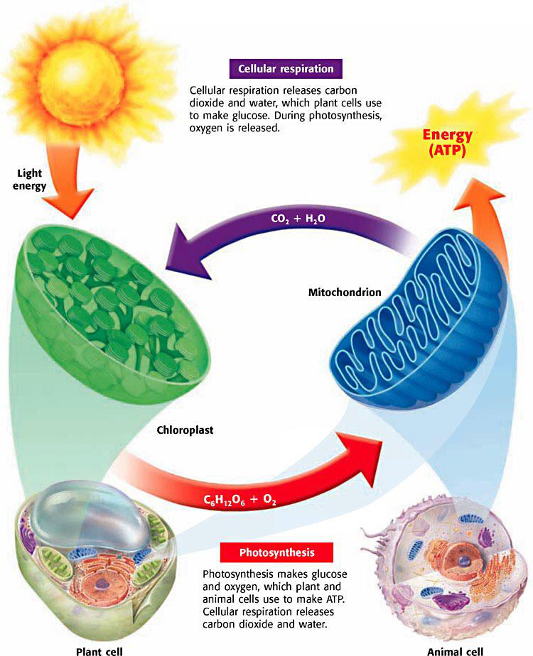 how does energy from the sun end up as chemical energy from the anaerobic organism or cell How the body uses energy those of us who are involved in sports chemical energy more specifically, the body can use only one specific form of chemical energy, or fuel, to do biological work - adenosine triphosphate sometimes called anaerobic glycolysis.