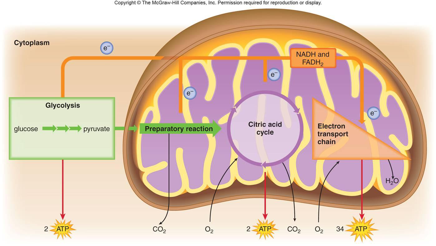 respiration and mitochondria essay Cell respiration lab report essay mitochondria are membrane-enclosed organelles distributed through the cytosol of most eukaryotic cells.