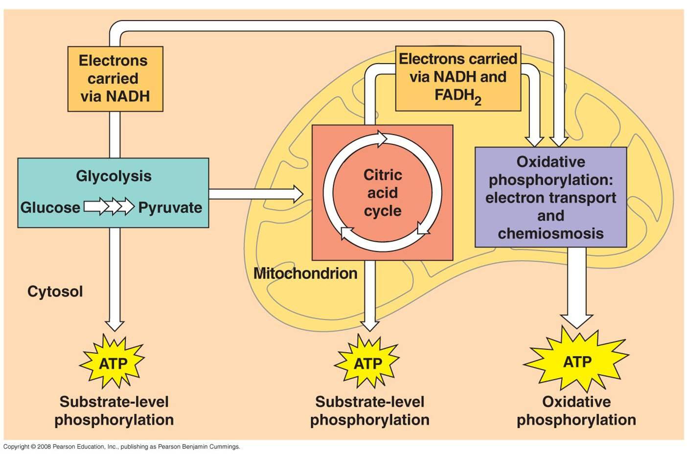 Aerobic respiration cycle diagram output complete wiring diagrams biochemical reactions lesson 0789 tqa explorer rh data allenai org photosynthesis and respiration diagram aerobic respiration ccuart Image collections