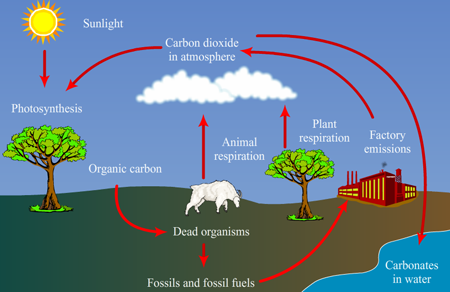 Cycles of matter lesson 0033 tqa explorer according to the diagram how many things contribute to co2 in the atmosphere ccuart Choice Image