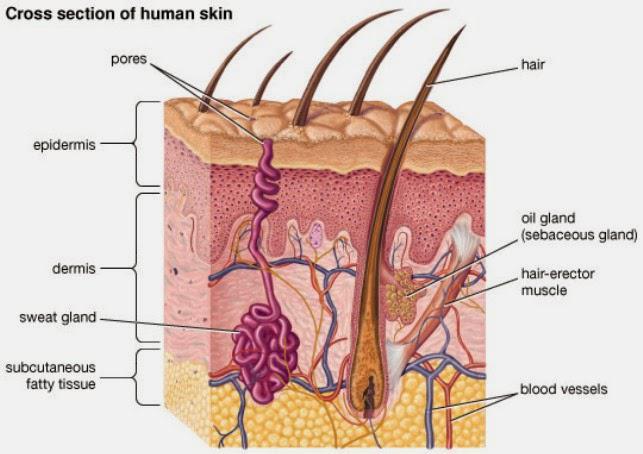 oil gland c  sweat gland d  blood vessel