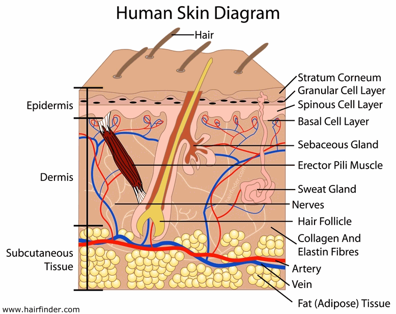 what is right underneath the epidermis?