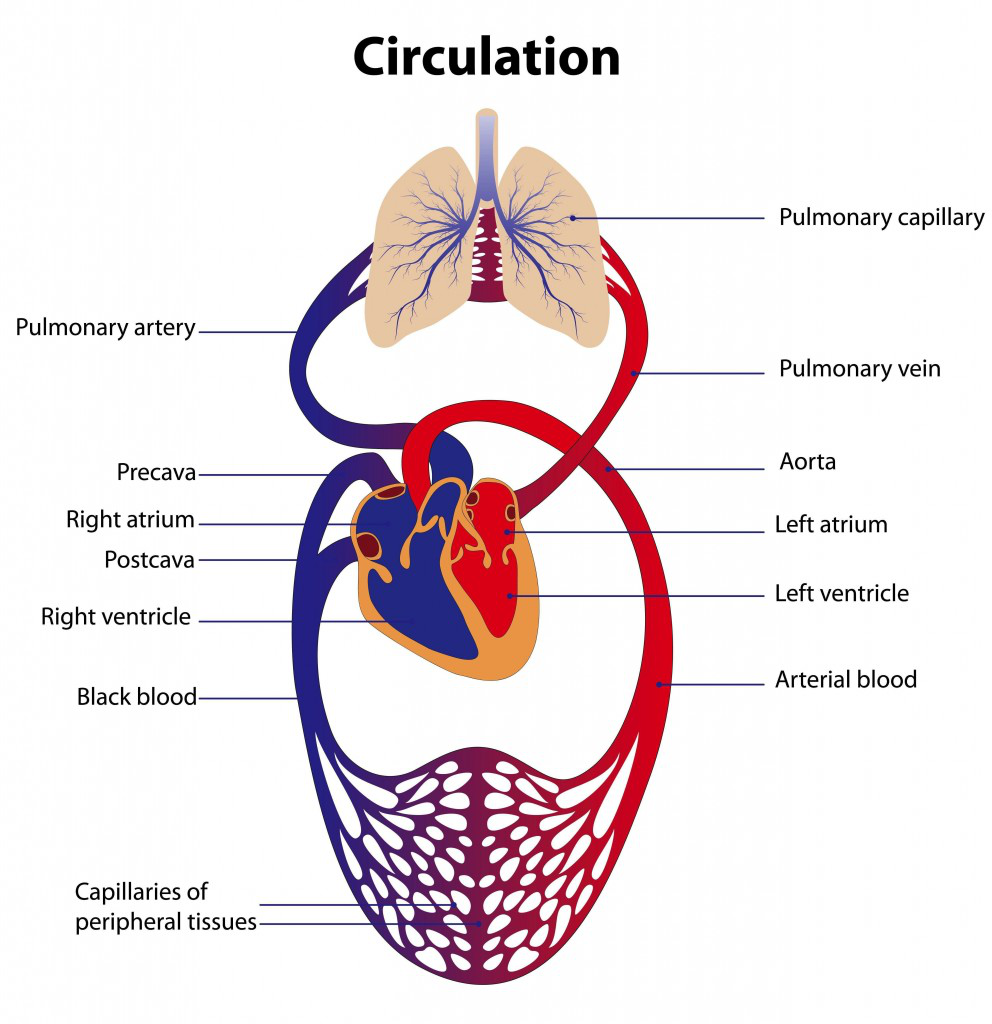 Overview of the cardiovascular system lesson 0390 tqa explorer a right atrium b aorta c pulmonary capillary d left atrium ccuart Gallery