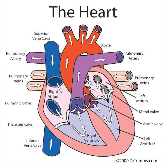 Overview Of The Cardiovascular System Lesson 0390 Tqa Explorer