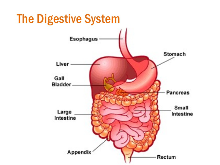 Diagram Of The Stomach Into The Intestine Trusted Wiring Diagram