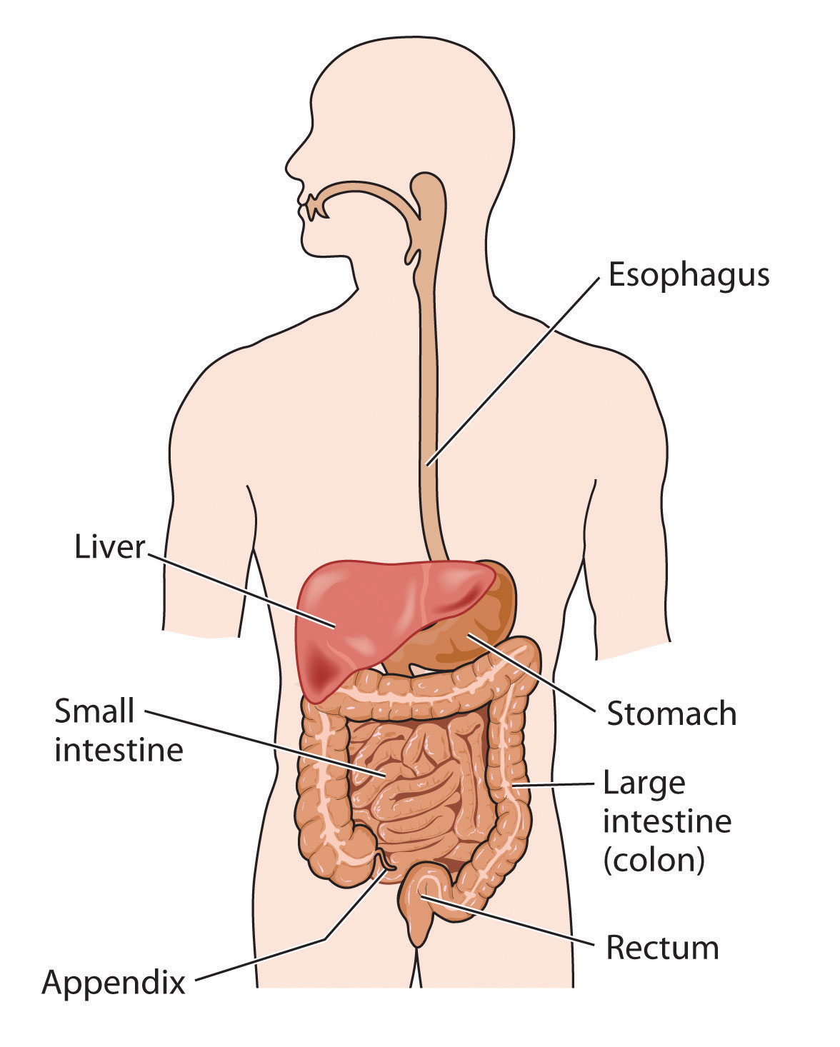 the digestive system (lesson 0389) - tqa explorer