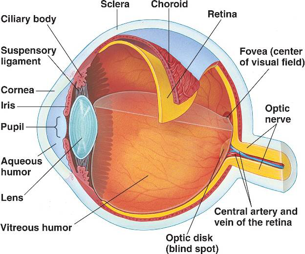 Vision and the eye lesson 1063 tqa explorer what is the part of the eye commonly known as the white and forms the supporting wall of the eyeball and is continuous with the clear cornea ccuart Images