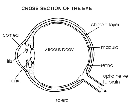 Vision and the eye lesson 1063 tqa explorer it carries the nerve impulses to the brain c focuses the light on the back of the eye d protective covering on the outside of the eye ccuart