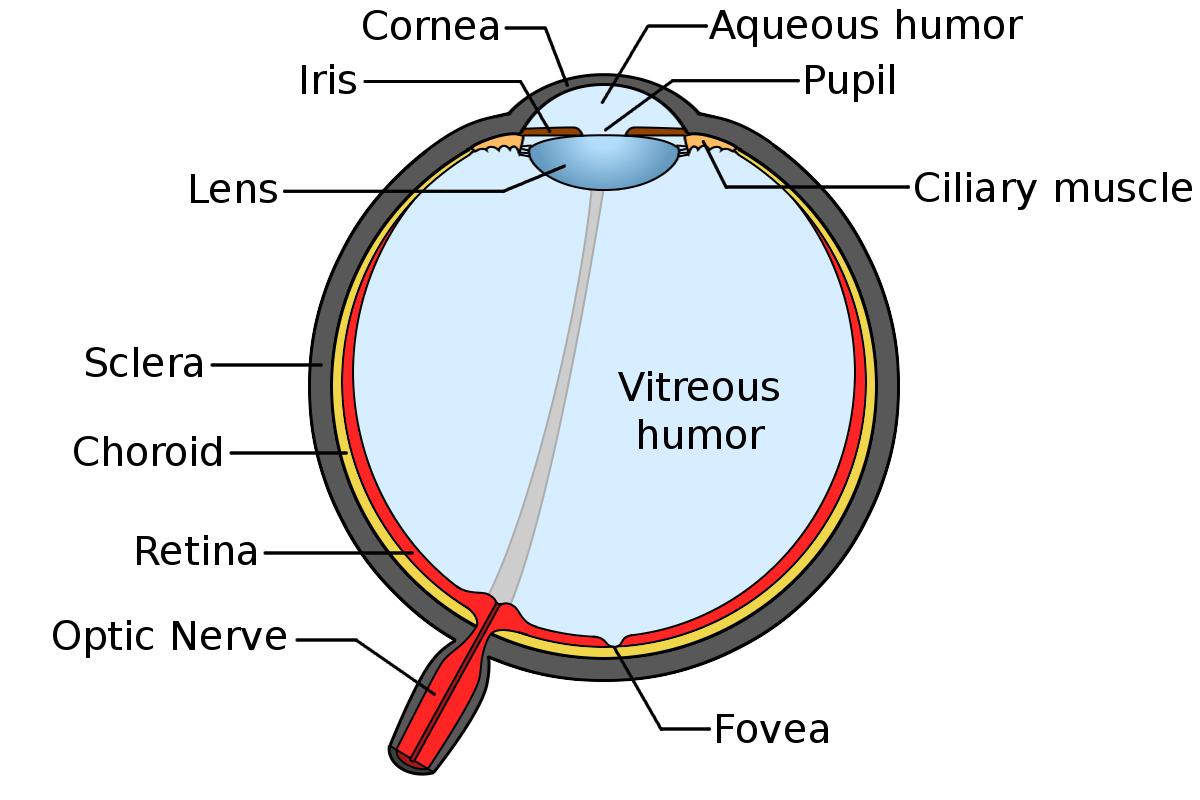 Vision and the eye lesson 1063 tqa explorer a lens b choroid c cornea d ciliary muscle ccuart Gallery