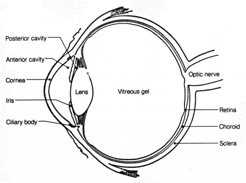 vision and the eye lesson 1063 tqa explorer Ear Anatomy Diagram which part focuses light on the back of the eye
