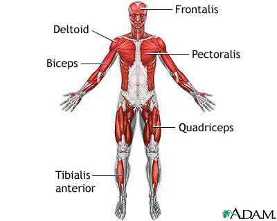 the muscular system (lesson 0386) - tqa explorer, Muscles