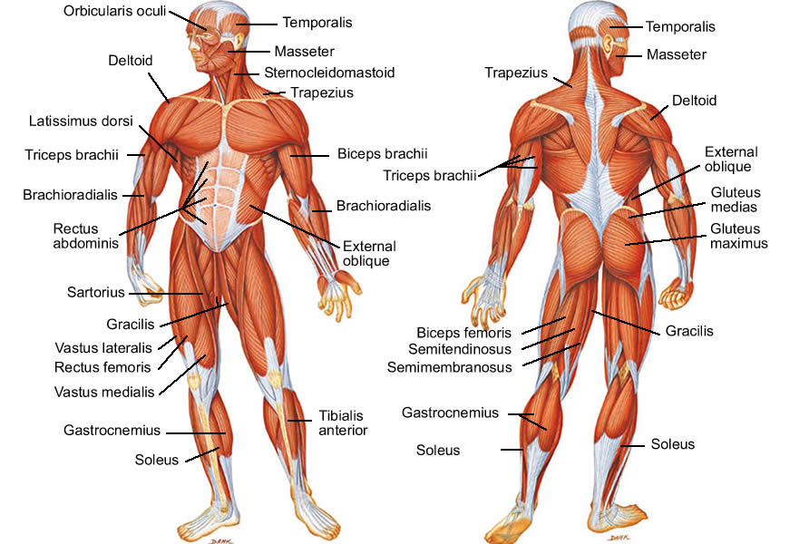 The Muscular System Lesson 0386 Tqa Explorer