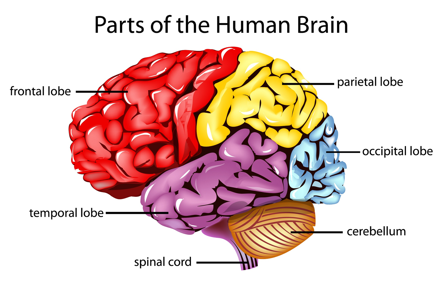 Why the human brain consists of two hemispheres 9