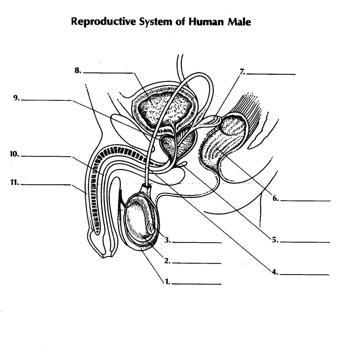 male reproductive system  lesson 0405
