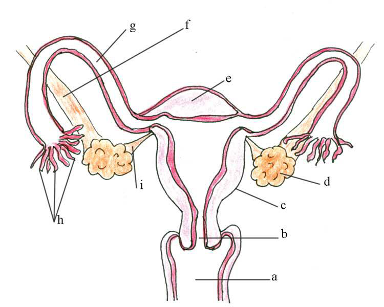 Male Reproductive System Lesson 0405 Tqa Explorer