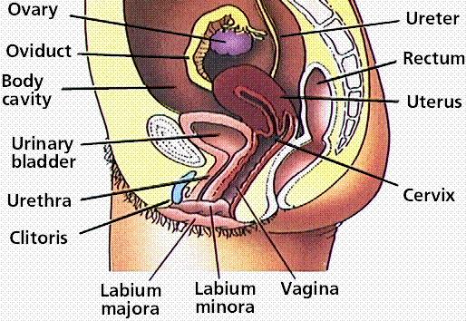Male reproductive system lesson 0405 tqa explorer questionimage ccuart Choice Image