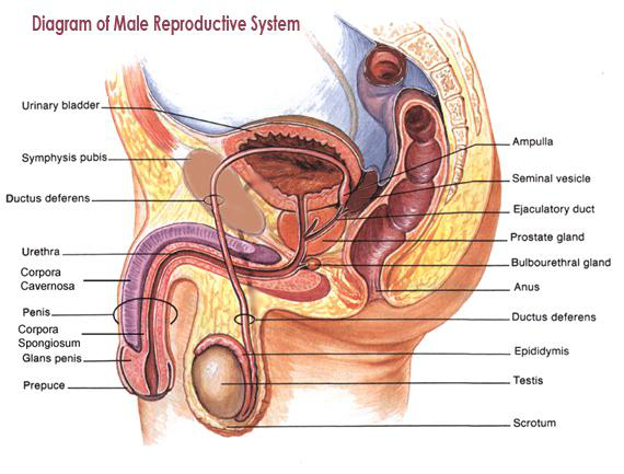 Diagram of a mans anus