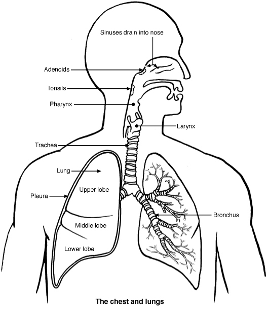 The respiratory system lesson 0393 tqa explorer questionimage ccuart