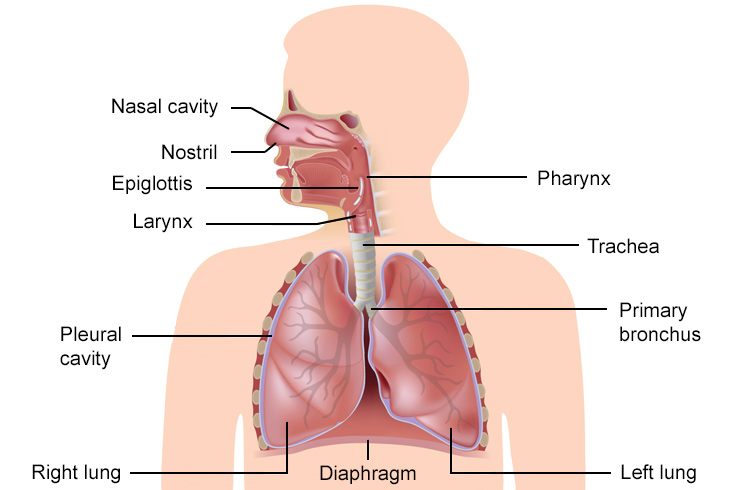 The respiratory system lesson 0393 tqa explorer right lung b left lung c nostril d larynx ccuart Images