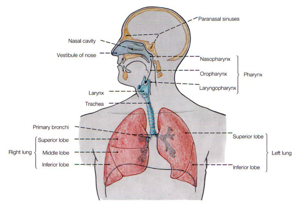 The Respiratory System Lesson 0393 Tqa Explorer