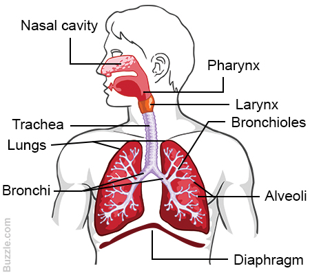 Inflated Lungs Diagram Labeled House Wiring Diagram Symbols