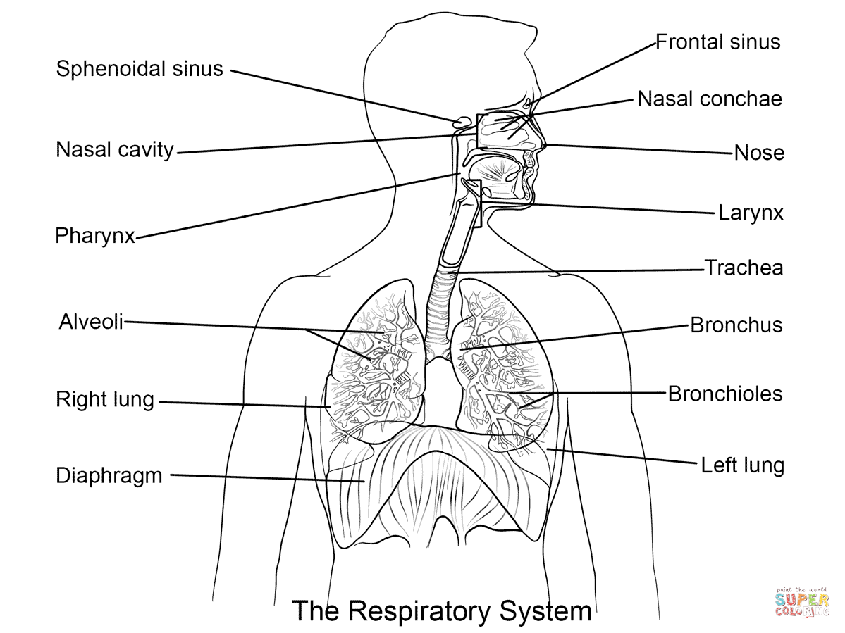 The respiratory system lesson 0393 tqa explorer ccuart Choice Image