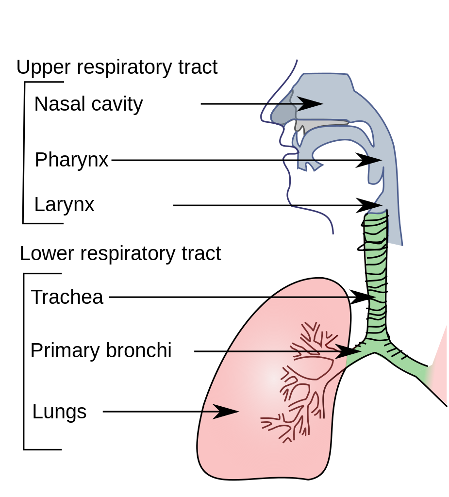 the respiratory system (lesson 0393) - tqa explorer