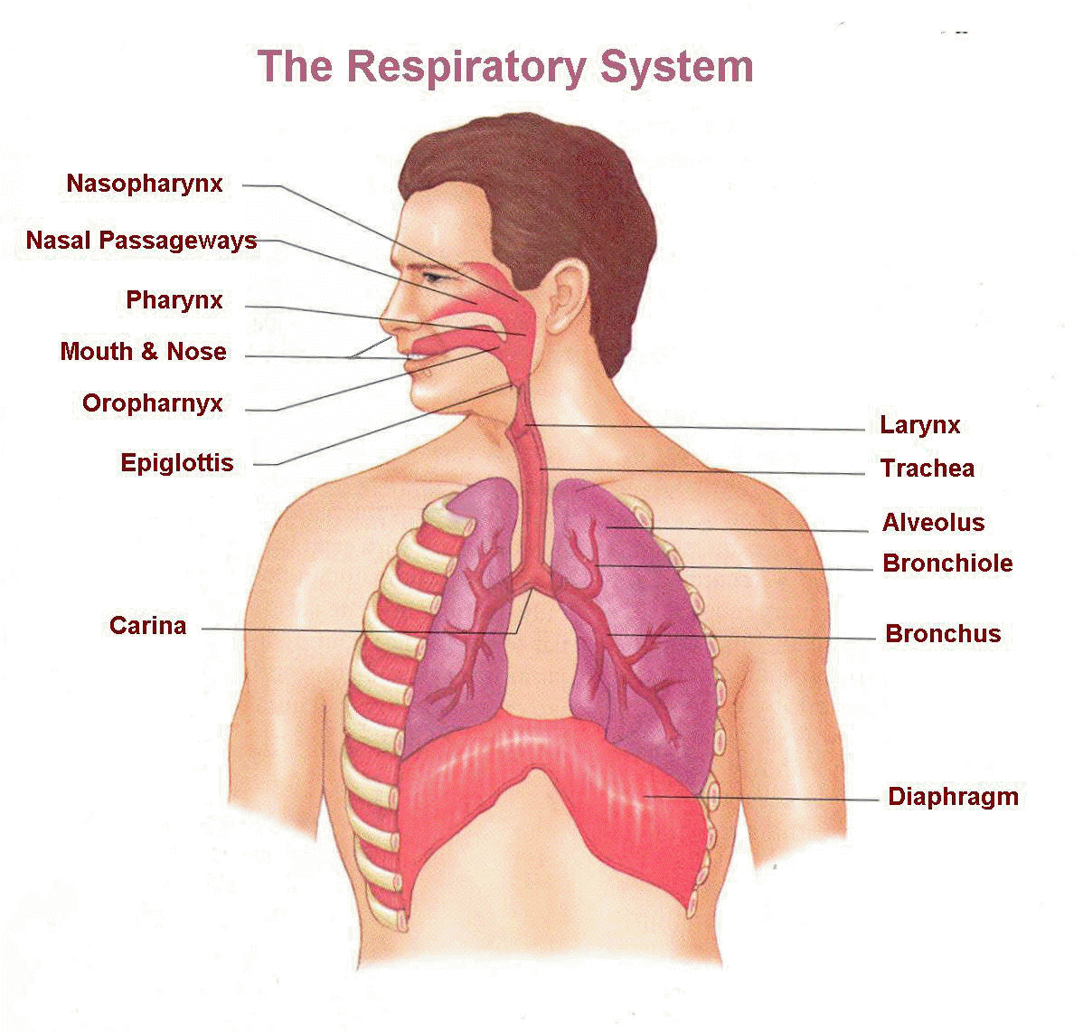 Respiratory System Parts Diagram Block And Schematic Diagrams
