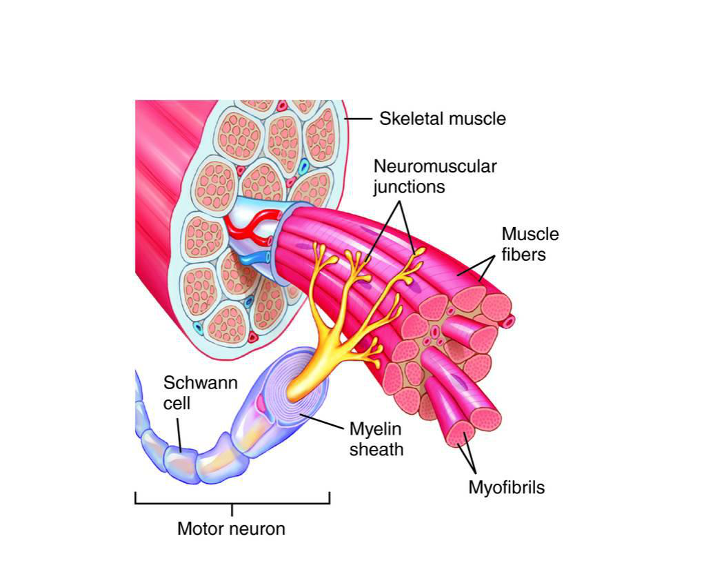 The muscular system lesson 0386 tqa explorer how many parts of the diagram are there pooptronica