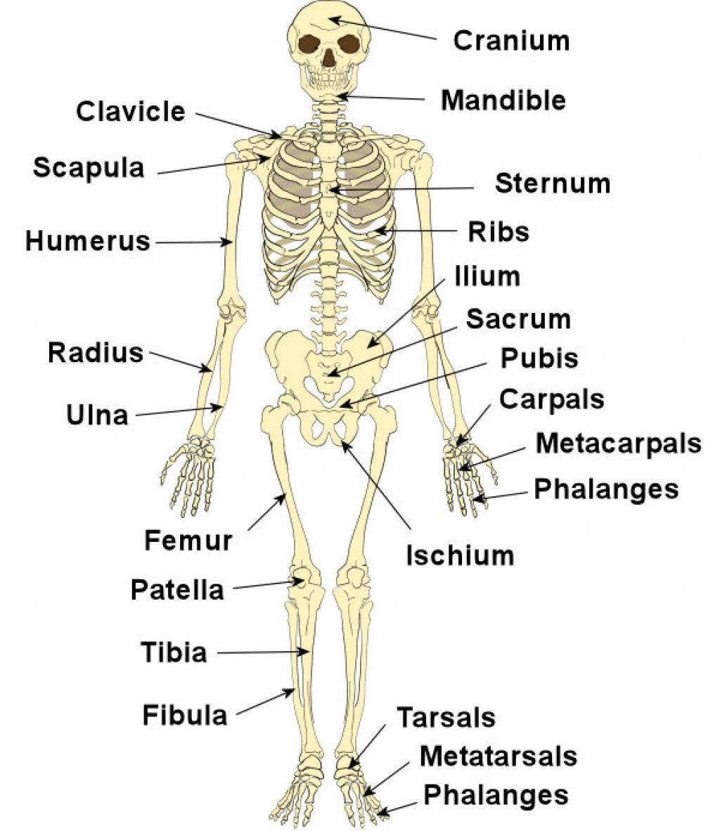 The Skeletal System Lesson 0385 Tqa Explorer