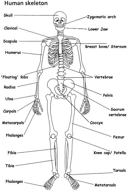 the skeletal system (lesson 0385) - tqa explorer, Skeleton