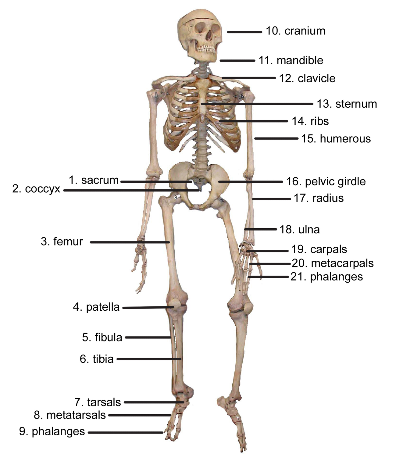 The Skeletal System  Lesson 0385