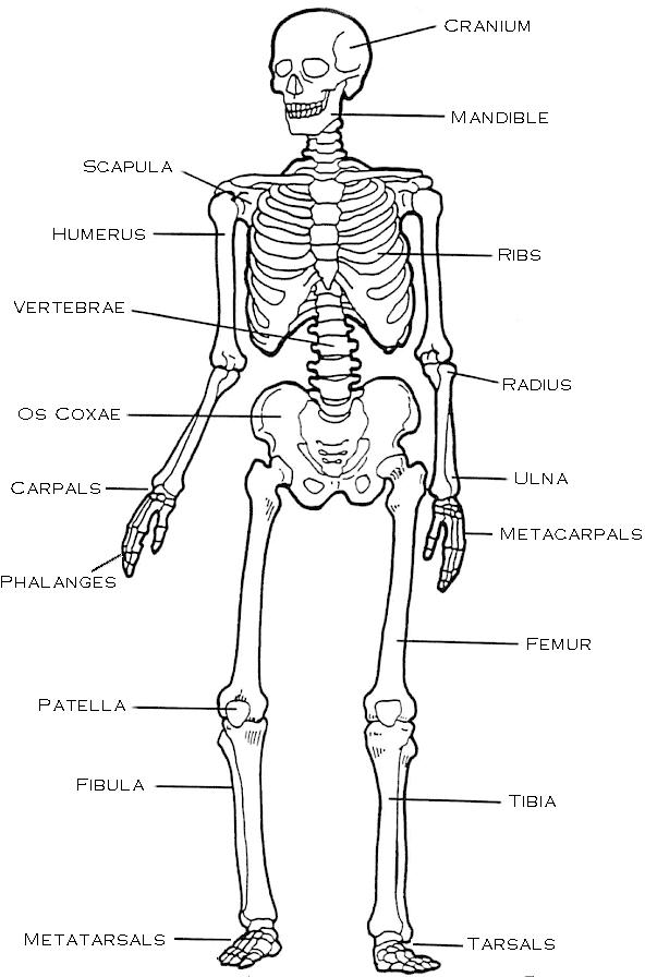 the skeletal system (lesson 0385) - TQA explorer