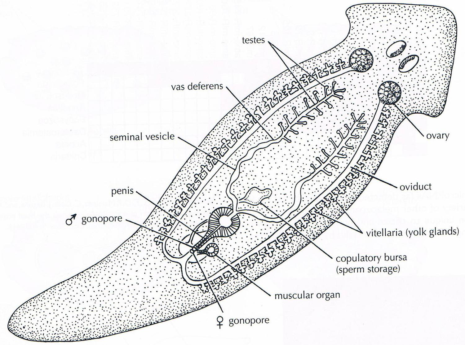 flatworms and roundworms (lesson 0370) - TQA explorer