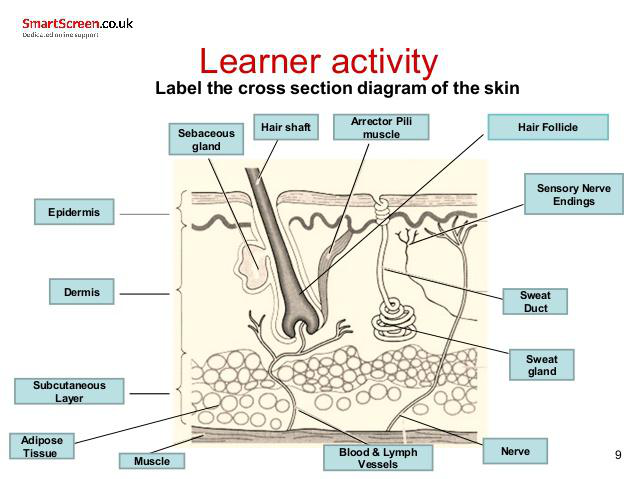 The Integumentary System Lesson 0384 Tqa Explorer