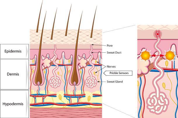 a  hair b  skin c  nerve --> d  dermis  question_image  where is the sweat  gland