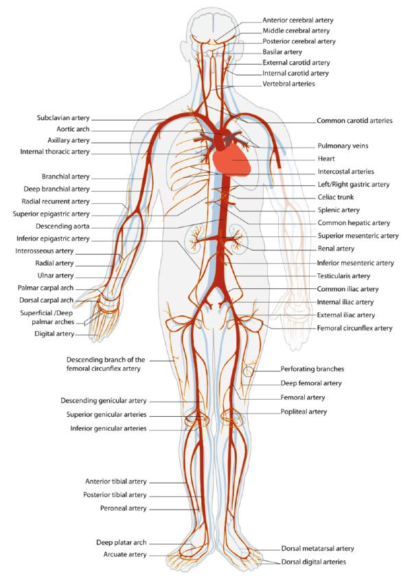 Cardiovascular System Lesson 0472 Tqa Explorer