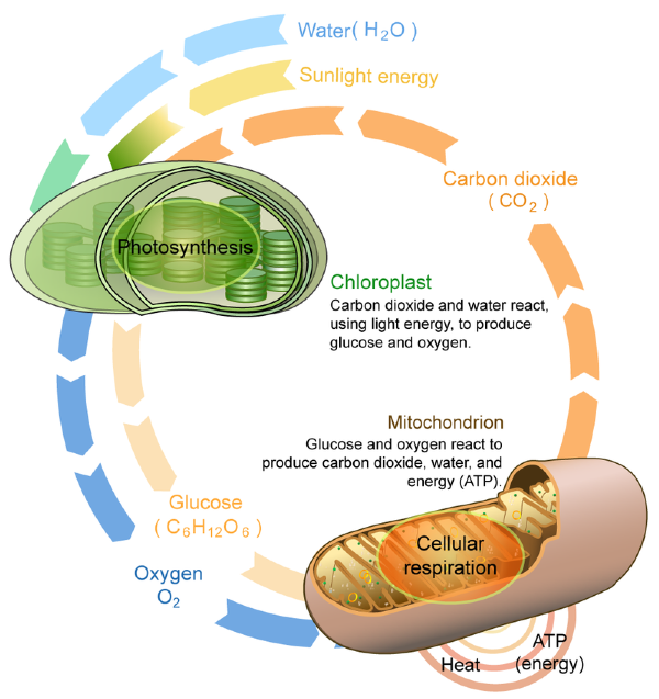 Connecting cellular respiration and photosynthesis lesson 0494 some of the energy is used to make atp in the mitochondria during cellular respiration and some is lost to the envi ronment as heat ccuart Images