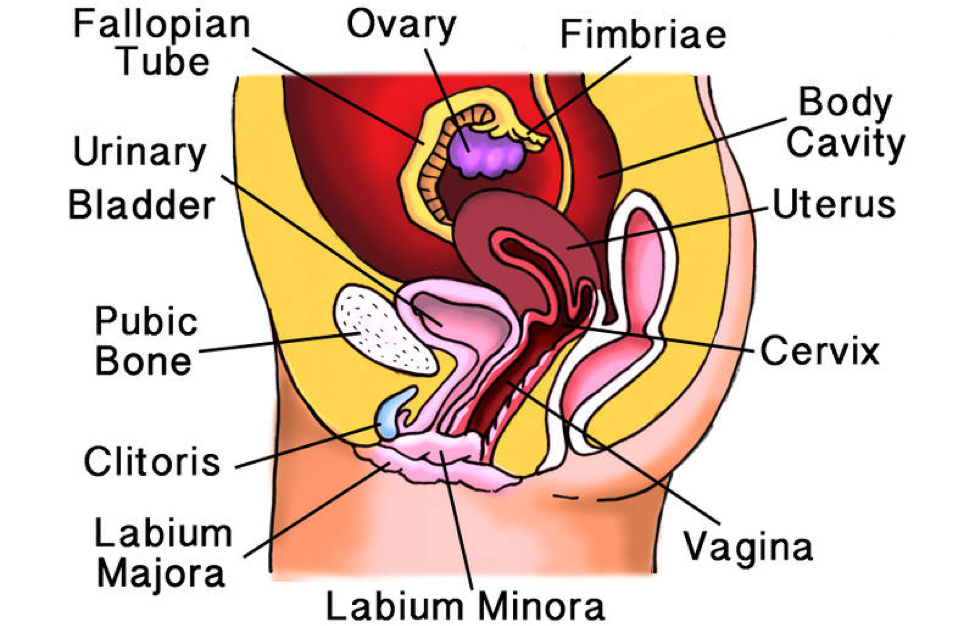 Female Reproductive System Lesson 0406 Tqa Explorer