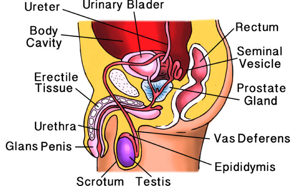 Male Reproductive System Lesson 0405 Tqa Explorer