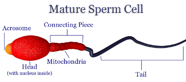 Apologise, but function of a sperm cell