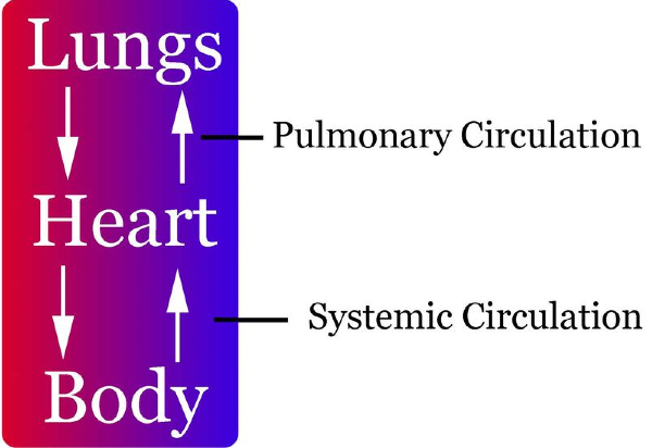 overview of the cardiovascular system (lesson 0390) - TQA