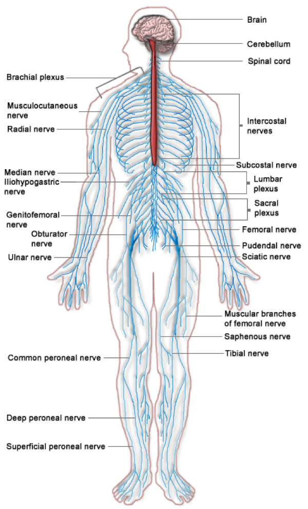 Major Organs Of Nervous System Diagram Block And Schematic Diagrams