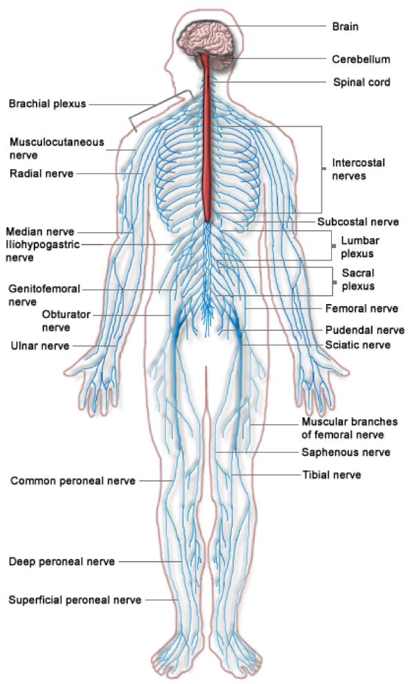 Peripheral Nervous System Lesson 0628 Tqa Explorer