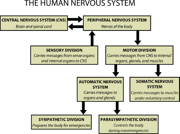 The nervous system lesson 0398 tqa explorer organs to the central nervous system for example it carries messages about images from the eyes to the brain once the messages reach the brain ccuart Image collections