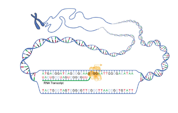 Transcription of dna to rna lesson 0697 tqa explorer instructional diagrams ccuart