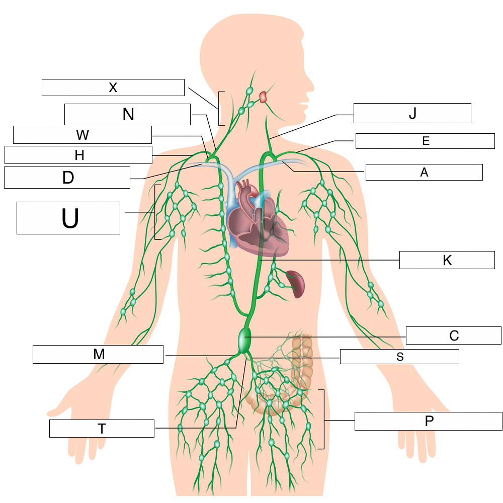 Diagram Of Where Lymph Nodes Are Located In The Body ...