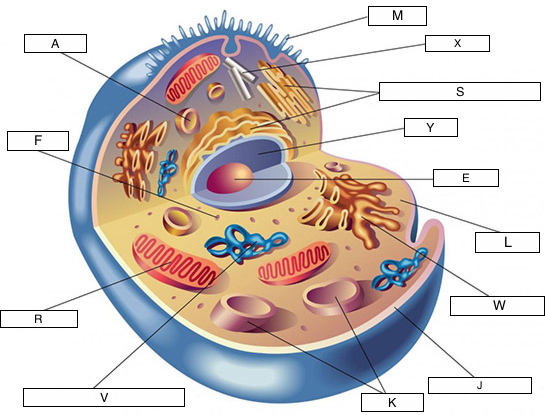 cell diagram letters wiring diagram specialtiescell structures (lesson 0422) tqa explorerthe nucleolus is the center of the cell where
