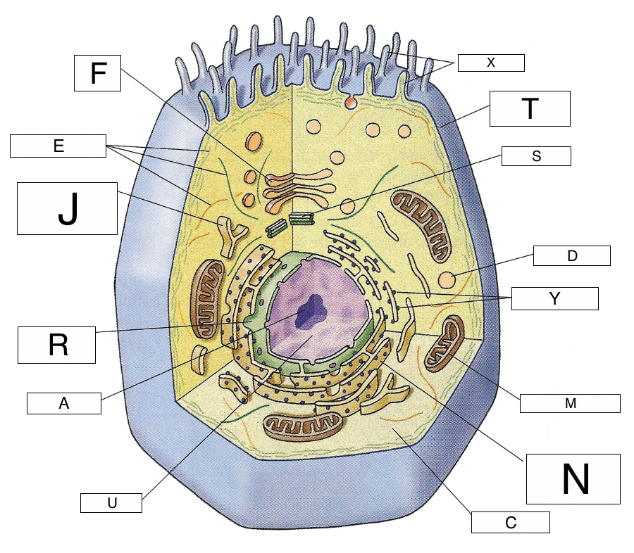 cell diagram letters wiring diagram specialtiescell structures (lesson 0422) tqa explorerwhich part of the animal cell makes energy available