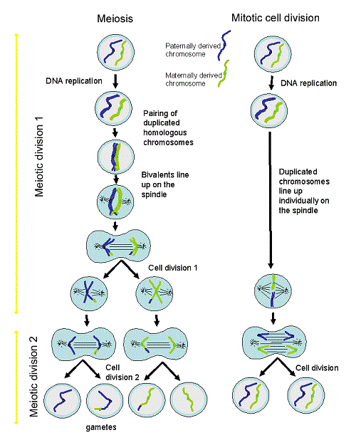 Homologus diagram of cell division circuit connection diagram cell division lesson 0426 tqa explorer rh data allenai org mitosis diagram labeled biology cell division ccuart Gallery